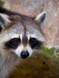 Raccoon removal Mooresville, NC.